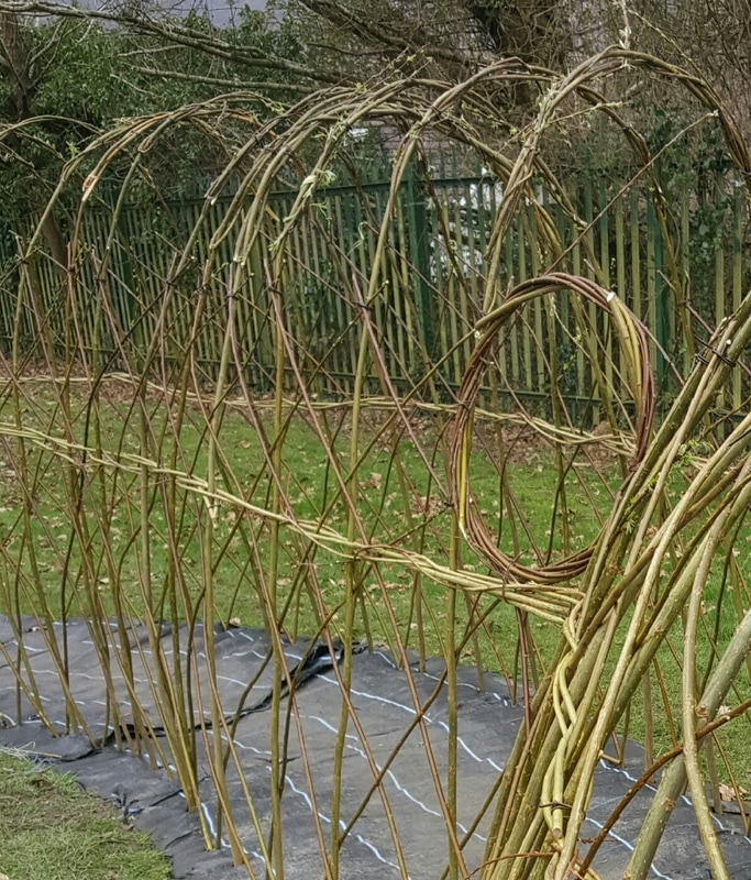 Living Willow Tunnel in School Clare Revera Welsh Baskets